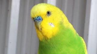 طيور العاشق والمعشوق