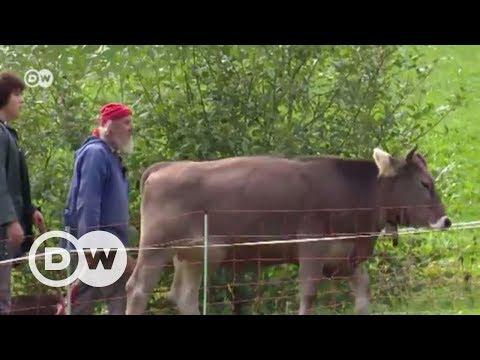 İsviçre'de boynuzsuz inek referandumu
