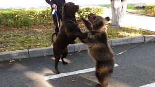 Медвежонок и пёс играют / Dog and bear playing together