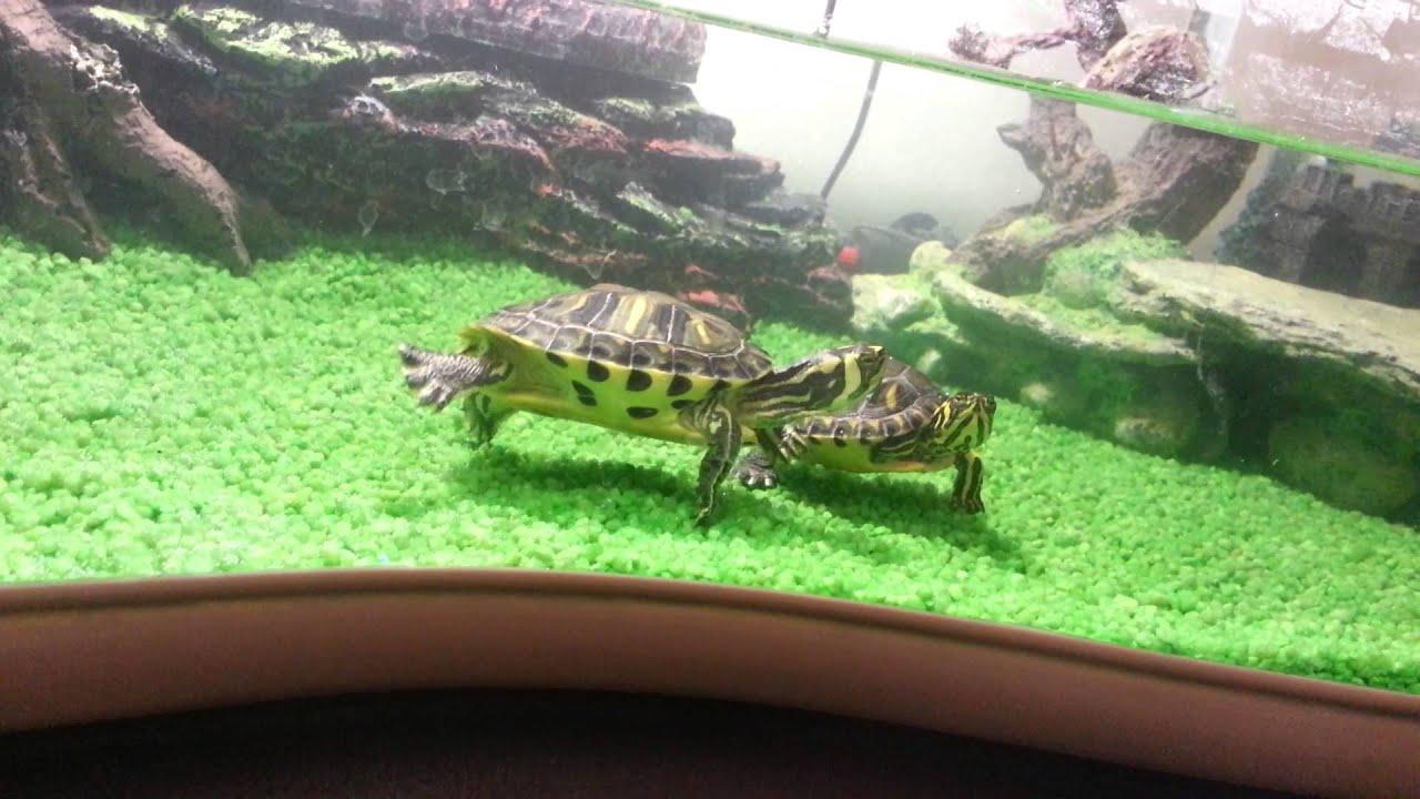Le mie tartarughe d 39 acqua dolce youtube for Letargo tartarughe acqua