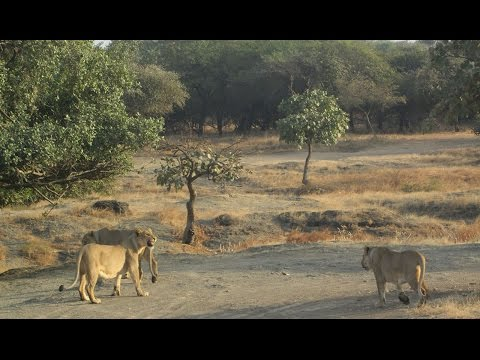 सिंह - गिर गुजराथ -Gir Forest - Devalia Safari Park  Devalia Gujarat part 02