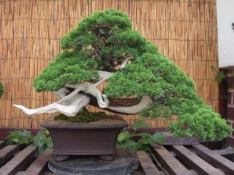 Prostrata Or San Jose Juniper Bonsai Garden