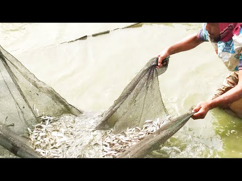 Net Fishing in Traditional village Pond । Catching Huge Small Fish। Village Fishing Tv