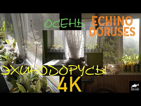 Эхинодорусы На Подоконнике. Осень. (65 видов)