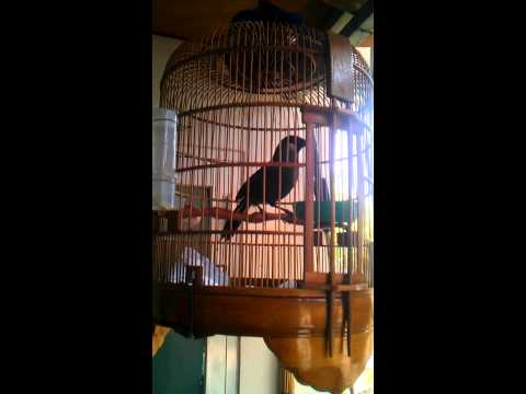 chim khuou Chim Khướu đầu đàn 2 năm lồng