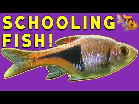 Harlequin Rasbora - Schooling Fish