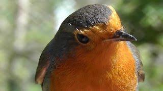 Hand Feeding Birds - Robin Great and Blue Tit Singing Song Bird - Robins
