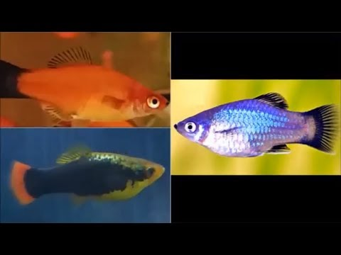 What Fish Can You Have With Platys - Platy Fish Compatible Tank Mates