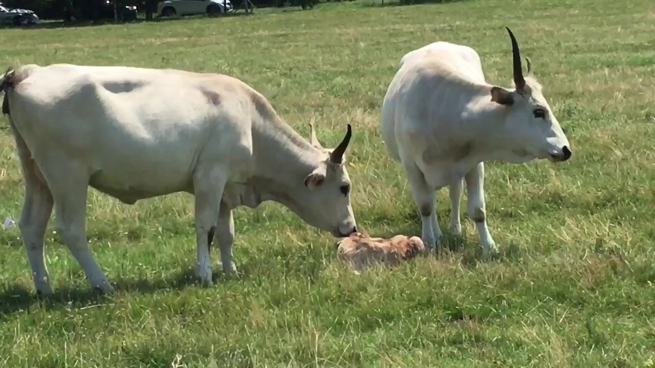 a szarvasmarhák parazita férge
