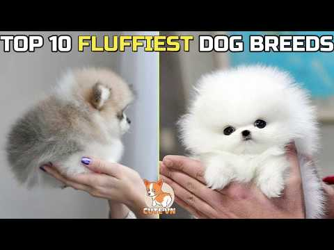 TOP 10 FLUFFIEST DOG BREEDS | fluffiest dog breeds in the world | pets & animals point:
