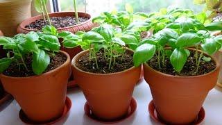 видео Как вырастить базилик на подоконнике