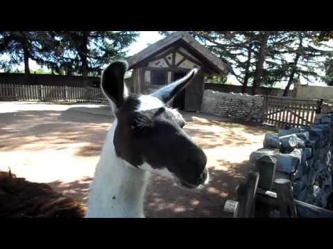 I versi degli animali: Il Lama / The animal sounds: The LLama