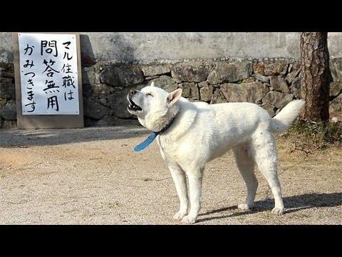紀州犬の「マル住職」人気上昇中 山口市の古刹・洞春寺