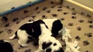 The Cutest English Cocker Spaniel Puppies