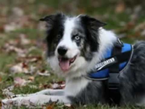Dog Agility Harness - harness for agility dogs - YouTube