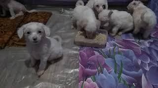 Китайская хохлатая собака могилев