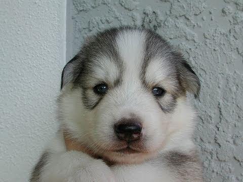 My siberian husky puppies 3 weeks old youtube - Pictures of siberian huskies ...