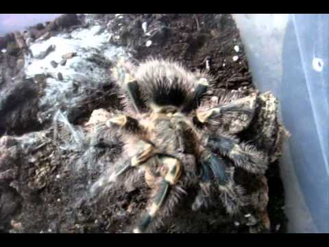 Tarantula Feeding Video 89 - Happy Easter - Easter Hunting with 66 Ts