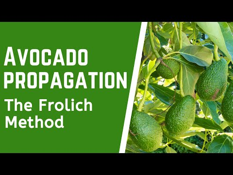 Avocado Propagation Using The Frolich Method