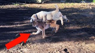 СОБАКА РАЗДАВИЛА РЫСЬ! Среднеазиатская овчарка Тайпан, рысь Умка и Маня, летняя прогулка