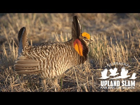 How To Hunt Prairie Grouse: 2019 Nebraska Upland Slam