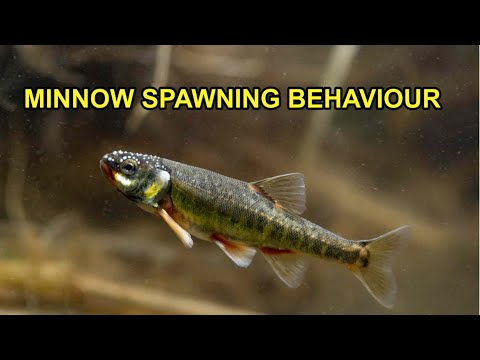 Minnows Spawning In UK River