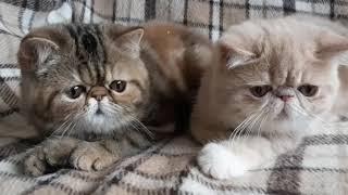Экзотические котята (экзоты)