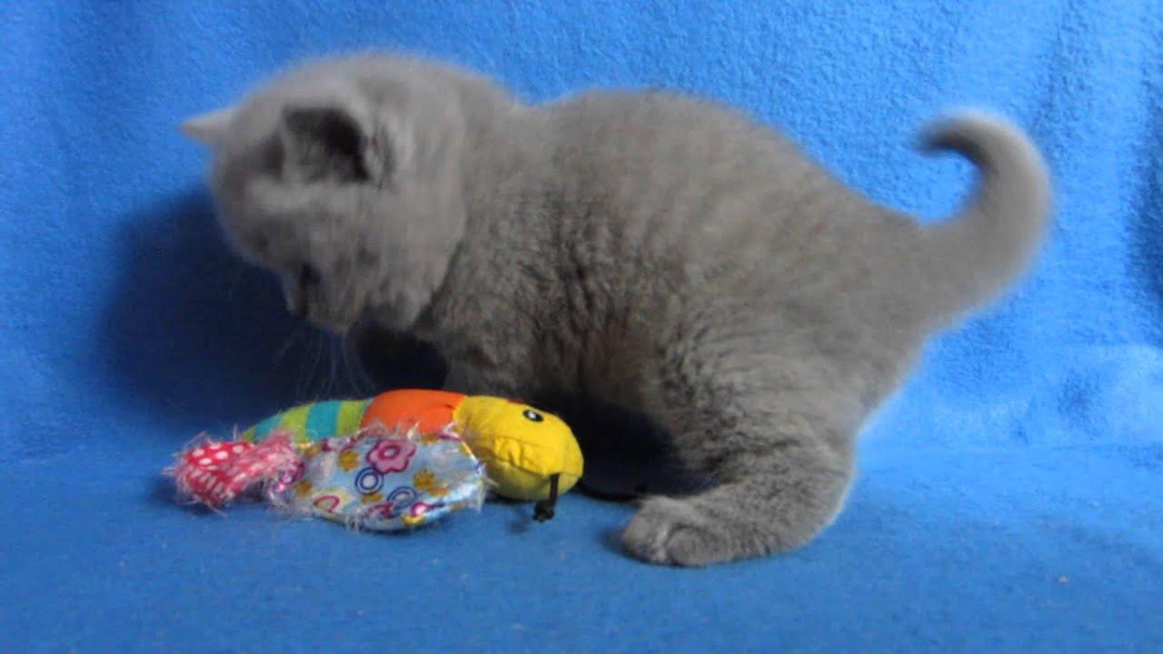 Продажа британских котов, котов и котят с ценами и фото от владельцев и питомников в киеве.
