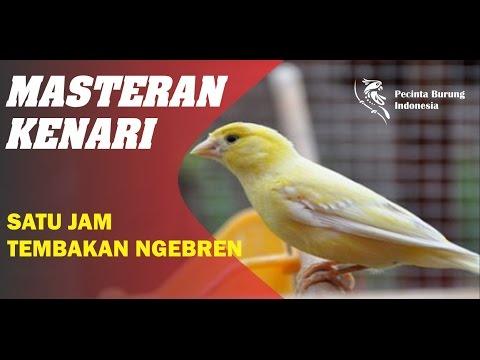 Download Lagu Masteran Kenari Gacor Tembakan Ngebren Durasi Super Panjang