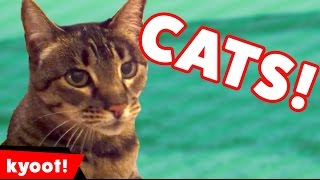 the funniest cute cat kitten home video bloopers of 2016 weekly compilation   kyoot animals