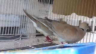 Bird Sounds -- EURASIAN COLLARED DOVE
