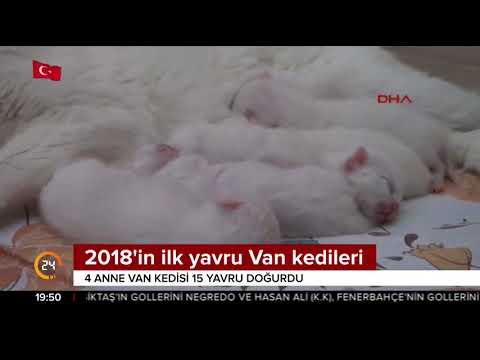 2018'in ilk yavru Van kedileri dünyaya geldi
