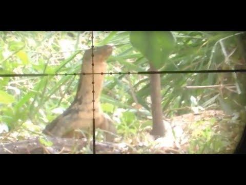 BERBURU BIAWAK kuburan tua - pest control - shooter erwindelon