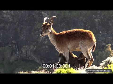 Ethiopia - Walia Ibex - Simien National park