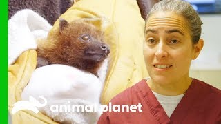 How To Care For A Baby Rodrigues Fruit Bat | The Zoo