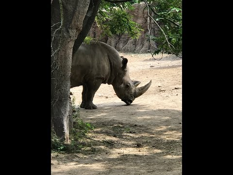 Animal Adventures with Jordan: White Rhino