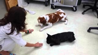 French Bulldog & Brittany Wait For A Treat 8.5.2015