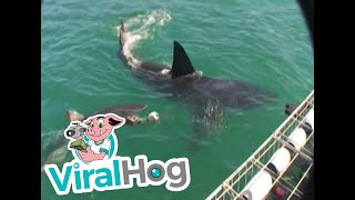 Two Great White Sharks Circle Boat