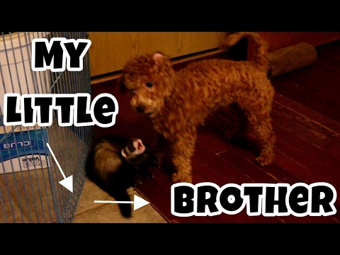 My Little Brother, Puppy Or Ferret? - Cute Animals Inside 4 - VOL. 52
