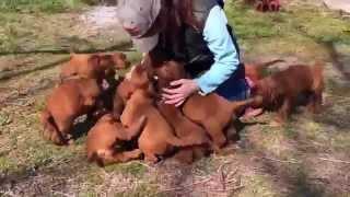 宮崎にある乗馬クラブ、カウボーイ アップ ランチの犬(アイリッシュ セ...