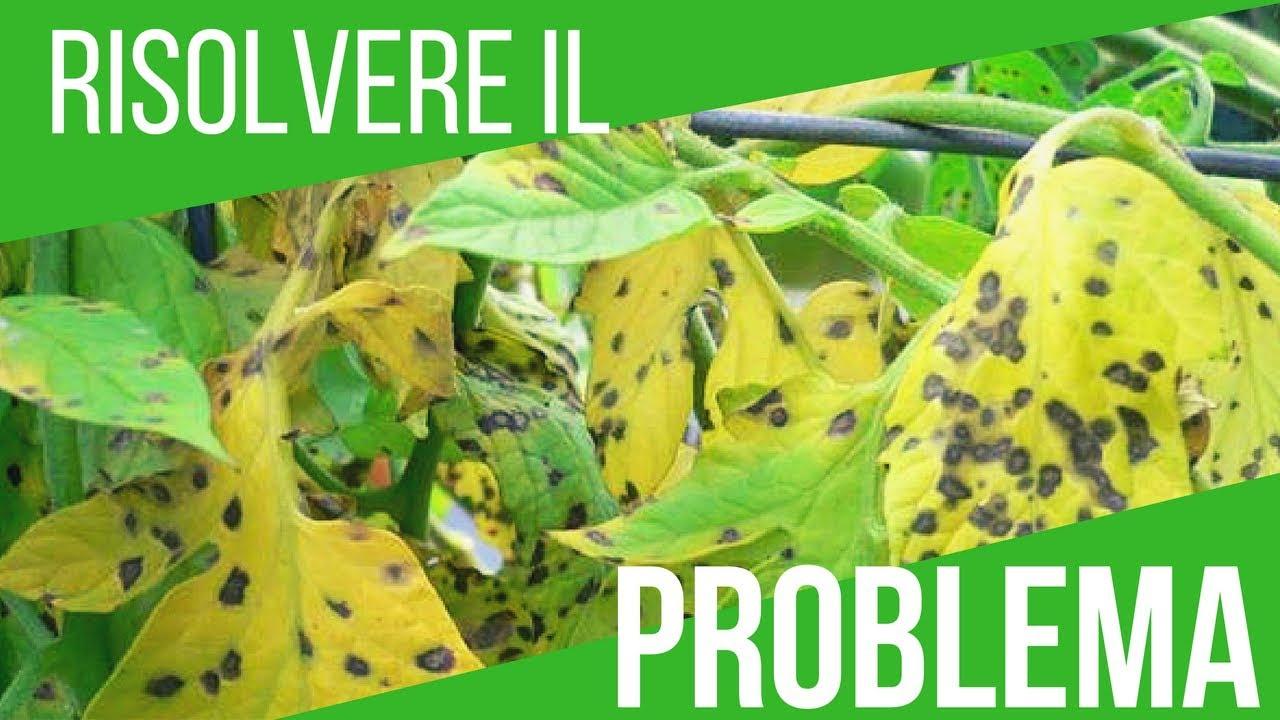 malattia pomodori foglie gialle