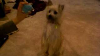 Cairn Terrier Mix Doing Tricks