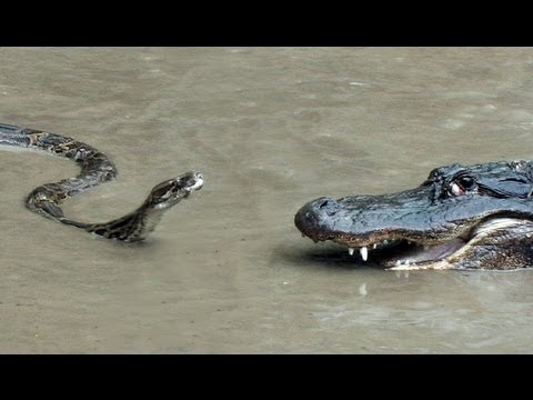 Python vs Alligator 01 – Real Fight – Python attacks Alligator