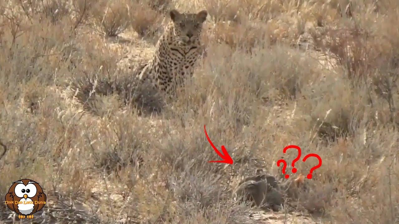 Detik – Detik Macan tutul Berburu Kucing Liar.!!