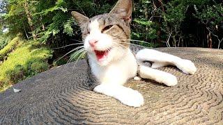 【独眼猫】片目を失ったキジシロ猫がテーブルの上でゴロンゴロンと甘えてきた