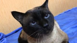 самый разговорчивый кот!!!