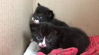 Kittens - Day 18 in the life of cute black and white kittens 😍♥️😍