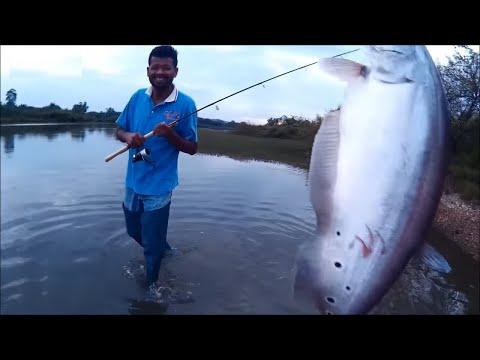 Casting Ikan Belida Gergasi (Giant Featherback Fish)