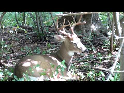 Sleeping White-tailed deer