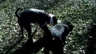 Ace my blue pit playin in the yard with my lab shadow